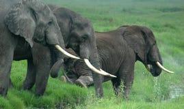 Elefantes en Tanzania, África Imagen de archivo