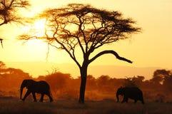 Elefantes en Tarangire NP Tanzania durante puesta del sol Imagen de archivo libre de regalías