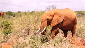 Elefantes en Tsavo Kenia del este almacen de metraje de vídeo