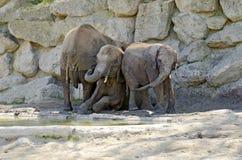 Elefantes en un agujero del fango Imagen de archivo