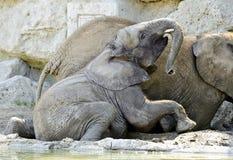 Elefantes en un agujero del fango Foto de archivo libre de regalías