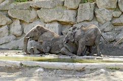 Elefantes en un agujero del fango Fotografía de archivo