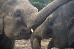 Elefantes en un orfelinato en Sri Lanka Imagen de archivo