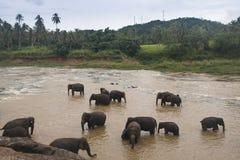 Elefantes en un orfelinato en Sri Lanka fotos de archivo