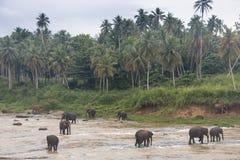 Elefantes en un orfelinato en Sri Lanka imágenes de archivo libres de regalías