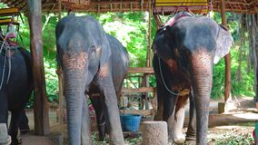 Elefantes en una granja en Asia tropical paseos en elefantes a través de la selva, parque del safari metrajes
