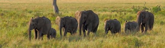 Elefantes en una línea imágenes de archivo libres de regalías