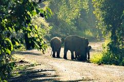 Elefantes enanos en el valle de Danum Foto de archivo