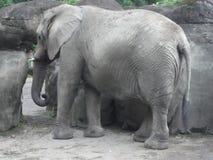 Elefantes enojados que gritan en el parque zoológico fotos de archivo