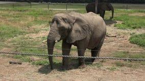 Elefantes, fauna, mamíferos, animales del parque zoológico almacen de video