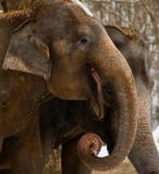 Elefantes felices Imagen de archivo