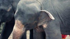 Elefantes forzados a bailar la crueldad animal almacen de video