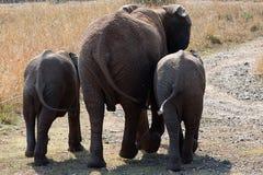 Elefantes gêmeos foto de stock royalty free