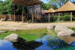 Elefantes grandes que vagan a través del hábitat natural, Cleveland Zoo, Ohio, 2016 Imagen de archivo libre de regalías