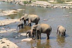 Elefantes indianos imagens de stock