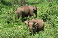 Elefantes indianos selvagens Foto de Stock Royalty Free