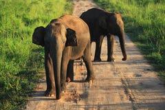 Elefantes indios en el camino en el parque nacional de Uda Walave Foto de archivo libre de regalías