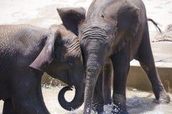 Elefantes jovenes del bebé que juegan junto en el agua Fotografía de archivo libre de regalías