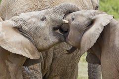Elefantes jovenes que juegan con sus troncos foto de archivo