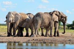Elefantes na bandeja de Nxai, Botswana Imagem de Stock Royalty Free
