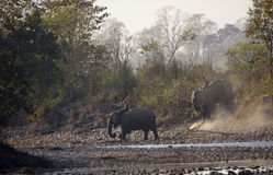 Elefantes nacionales que caminan y que cruzan una charca, en Nepal Imagenes de archivo