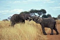 Elefantes no amor, Tarangire NP, Tanzânia imagem de stock royalty free