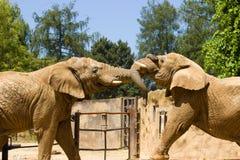 Elefantes no JARDIM ZOOLÓGICO Imagem de Stock Royalty Free