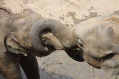 Elefantes no jogo Fotografia de Stock Royalty Free