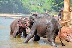 Elefantes no orfanato do elefante de Pinnawala, Sri Lanka Imagens de Stock