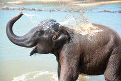 Elefantes no orfanato do elefante de Pinnawala, Sri Lanka Fotografia de Stock Royalty Free