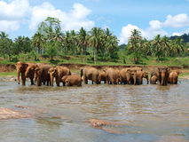 Elefantes no orfanato do elefante de Pinnawela Fotografia de Stock
