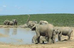 Elefantes no parque do elefante de Addo Fotografia de Stock Royalty Free