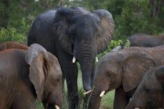 Elefantes no parque nacional de Hwage, Zimbabwe, elefante, presas, alojamento do olho do ` s do elefante foto de stock