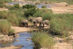 Elefantes no parque nacional de Kruger, água potável de África do Sul no rio de Sabie Imagem de Stock