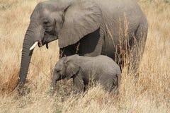 Elefantes no parque nacional de Ruaha, Tanzânia East Africa Fotografia de Stock