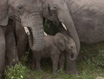 Elefantes no parque nacional de Serengeti foto de stock