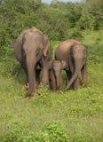 Elefantes no parque nacional do udawalawe Imagem de Stock