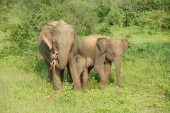 Elefantes no parque nacional do udawalawe Imagens de Stock Royalty Free