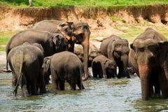 Elefantes no rio Foto de Stock Royalty Free