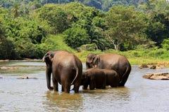 Elefantes no rio Imagem de Stock