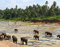 Elefantes no rio Fotografia de Stock