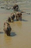 Elefantes no rio Imagens de Stock