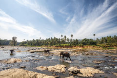 Elefantes no rio Fotos de Stock Royalty Free