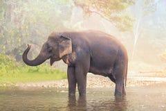 Elefantes no rio da natureza na floresta profunda da natureza em Tailândia, Ásia Imagens de Stock Royalty Free