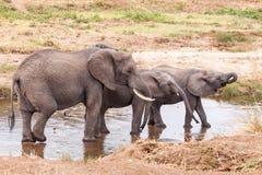 Elefantes no rio de Tarangire Fotos de Stock Royalty Free