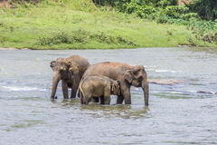 Elefantes no rio Maha Oya no pinnawala Imagens de Stock Royalty Free