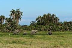 Elefantes no savana Imagens de Stock Royalty Free