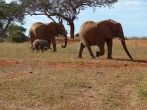Elefantes no savanna africano Fotos de Stock Royalty Free