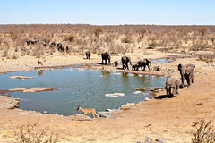 Elefantes no waterhole Foto de Stock Royalty Free