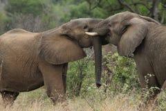 Elefantes novos Fotografia de Stock